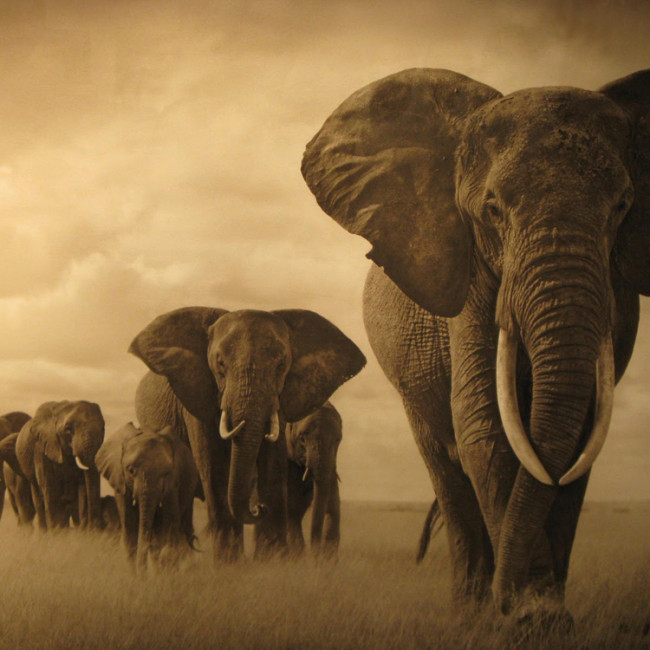 Matriarch-Elephant-and-Herd