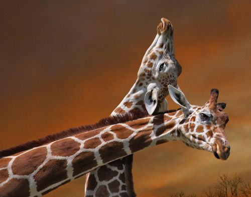 giraffe mother calf