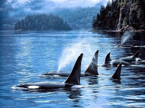 killer whales in ice