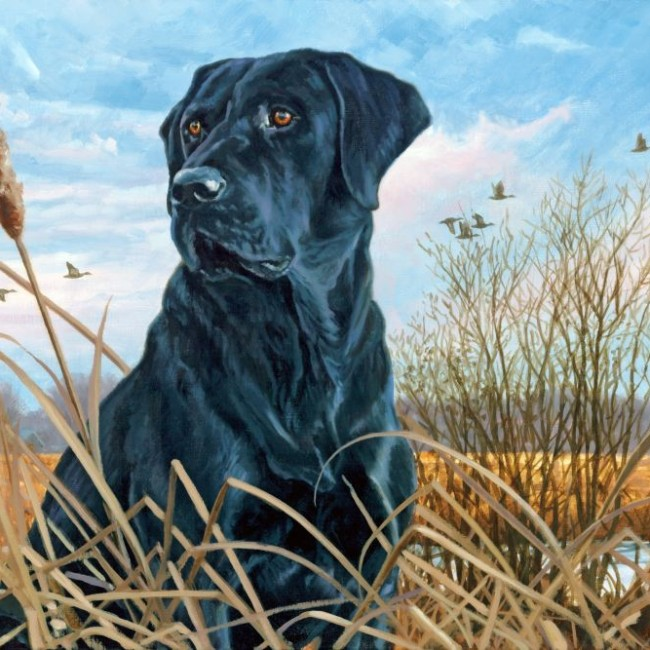 black labrador in field