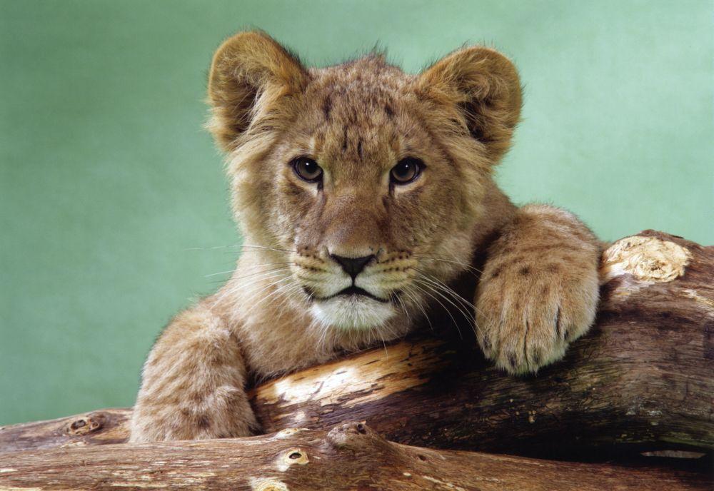 Cute Lion Cub The Uk Art Depot Shop