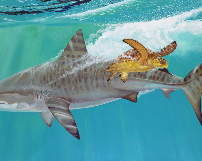 Tiger Shark and Turtle