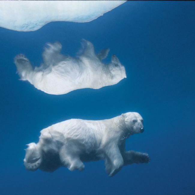 Polar Bear Swims Under Ice